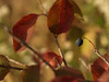 Common Chokecherry in October-- Quakertown, PA