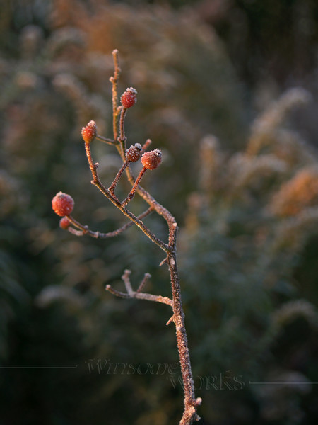 Single Hawthorn Berry Stem with Frost in Fall