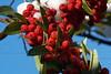 Pyracantha Berries in Snow - Quakertown, PA