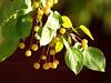 yellow crabapples closeup