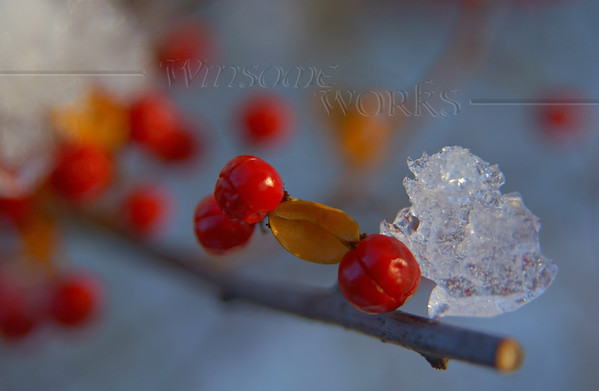 Bittersweet with ice on branch in Pearl Buck's yard  [fx]