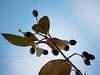 Common Chokeherry in Autumn, Quakertown, PA