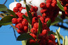 Pyracantha (Firethorn) Berries in Snow - Quakertown, PA
