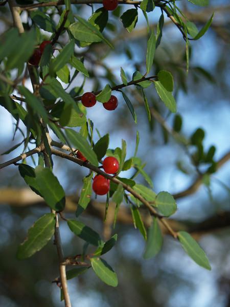 Berry bush in Louisiana (needs I.D.)