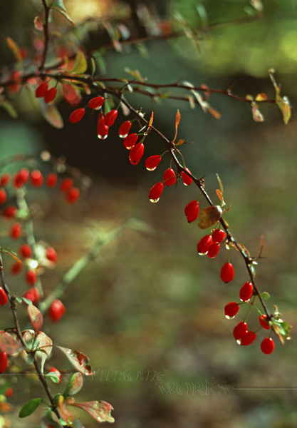 American Barberry bush (Berbera canadensis) with water drops in autumn, Unami Creek, PA