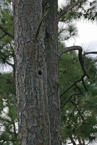 Red-cockaded Woodpecker's Nest Hole