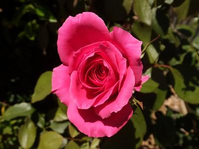 Jack's Roses