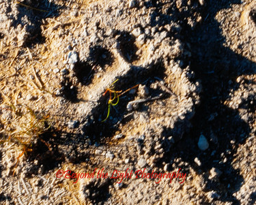 Grizzly Bear Print by the Geysers