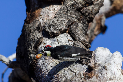 Acorn Woodpecker living up to its name - McCain Valley