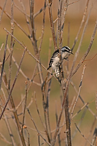 Hairy Woodpecker, Sacto
