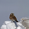 Horned Lark - Boone County Iowa