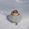 Winter Snow Bunting- Story County Iowa