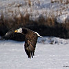 Bald Eagle - Don Williams Lake- Boone COunty