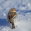 Snow Bunting- I like the white side feathers against the snow.
