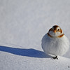 Snow Bunting - Standing small, but casting a tall shadow!