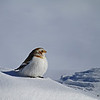 Winter Snow Bunting- Story County Iowa