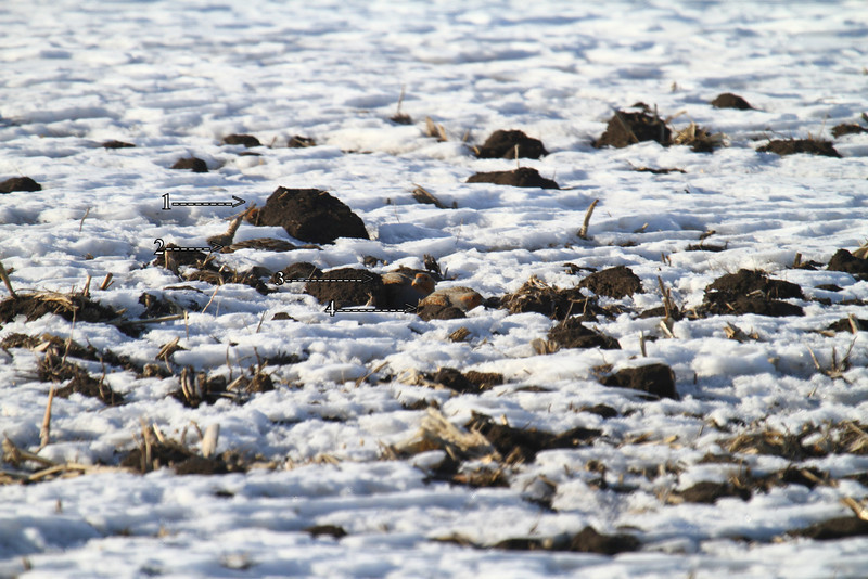 Can you find the 4 Gray partridge in this photo?