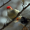 Red-Bellied Woodpecker - My yard