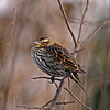 Winter female Red-Winged Blackbird - Boone County Iowa