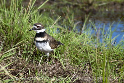 Killdeer at Nisqually National Wildlife Refuge in Washington.  Photo taken from the Nisqually Estuary Trail.