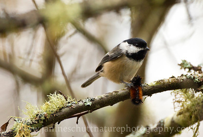 Black-capped Chickadee with a caterpillar snack at Nisqually National Wildlife Refuge in Washington.  Photo taken along the Twin Barns Loop Trail.
