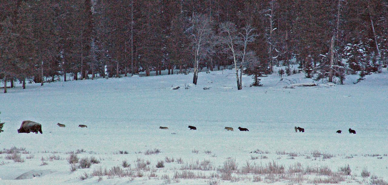 Ten Druid pack members Lamar Valley, Yellowstone