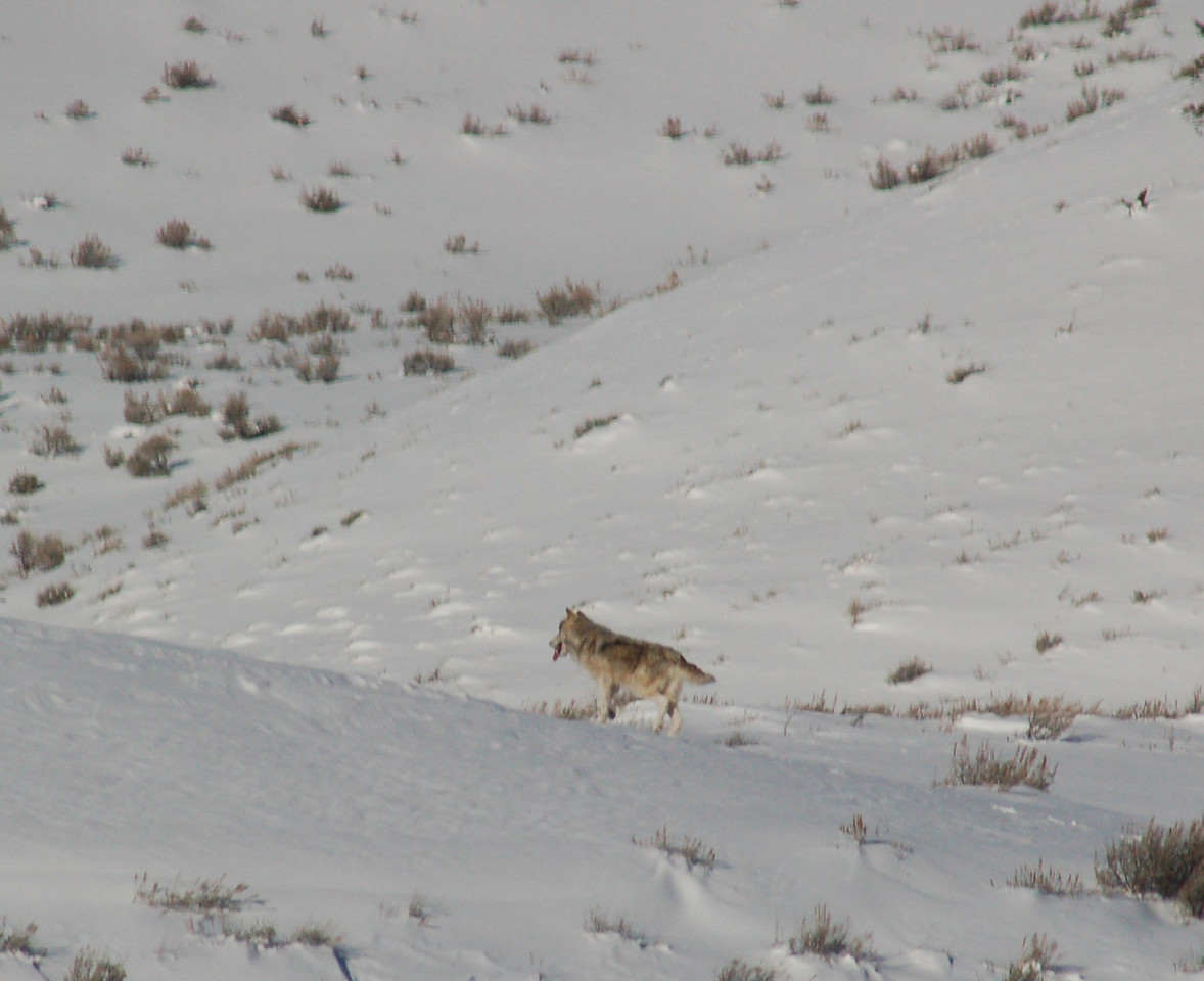 """One of the gray wolves being observed during winter of '08. Biologists do not know origin of this wolf and another gray wolf. A black female Druid wolf was being observed in January """"flirting"""" with the alpha of this pair of grays."""