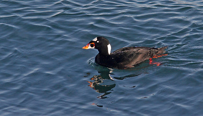 Surfscoter, Bodega Bay channel