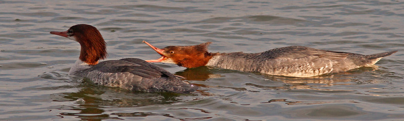Female Mergansers territory dispute