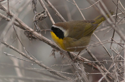 Yellowthroat, Las Gallinas ponds