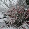 Garden cotoneaster.