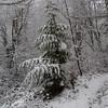 Western Red Cedar sapling.