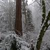 Old-growth cedar trunk.