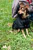 Sitting toy terrier in black coat