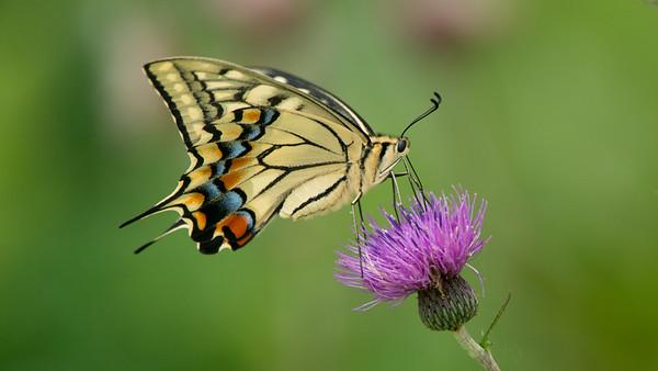 Swallowtail, Papilio machaon hippocrates. Tōjinbō Sakai, Fukui Prefecture, Japan.