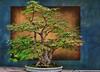 Maple Bonsai #6
