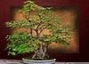 Maple Bonsai #7