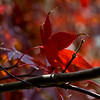 Japanese Maple. Went out yesterday to shoot some color. I was happy the sun was shining and there was very little wind.