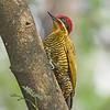 Piculus chrysochloros<br /> Pica-pau-dourado-escuro<br /> Golden-green Woodpecker<br /> Carpintero dorado - Ypekû rupakâ