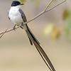 Tyrannus savana<br /> Tesourinha<br /> Fork-tailed Flycatcher<br /> Tijereta - Tuguái jetapa