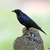 Molothrus bonariensis<br /> Vira-bosta<br /> Shiny Cowbird<br /> Tordo renegrido - Guyraû