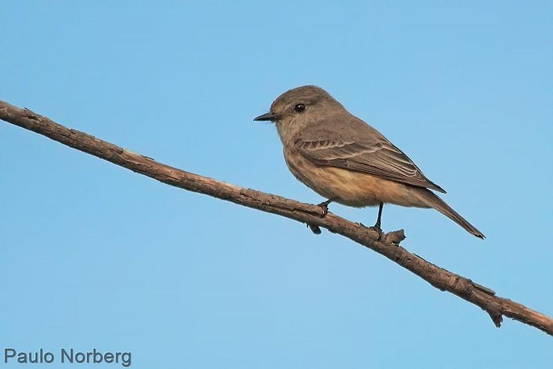Pyrocephalus rubinus<br /> Príncipe fêmea<br /> Vermilion Flycatcher female<br /> Churrinche - Guyra pytâ