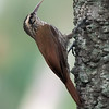 Lepidocolaptes angustirostris<br /> Arapaçu-do-cerrado<br /> Narrow-billed Woodcreeper<br /> Chinchero chico - Arapasu ka'atî