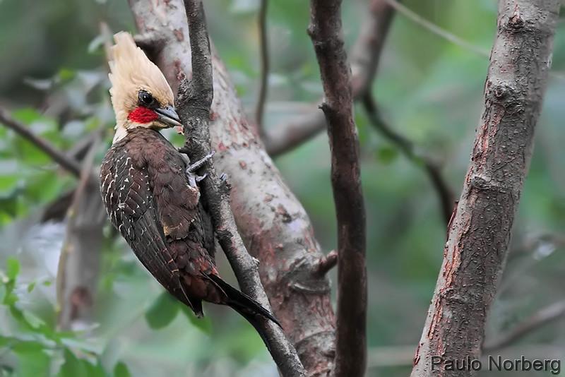 Celeus lugubris<br /> Pica-pau-louro<br /> Pale-crested Woodpecker<br /> Carpintero copete pajizo - Ypekû atî