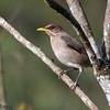 Turdus amaurochalinus<br /> Sabiá-poca<br /> Creamy-bellied Thrush<br /> Zorzal mandioca - Havía korochire