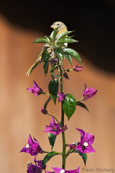 Sicalis flaveola<br /> Canário-da-terra imaturo<br /> Saffron finch immature<br /> Canario paraguay - Tuju