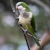 Myiopsitta monachus<br /> Caturrita<br /> Monk Parakeet<br /> Cotorrita - Tu'î karanda'y