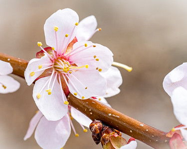 Apricot Flower Blooms