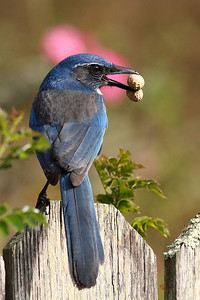 Amy's new pet - A Scrub Jay