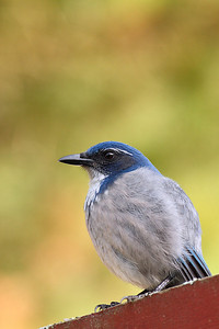 Scrub Jay - Full Frame Shot